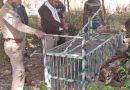 वन विभाग ने गुलदार को पकड़ने के लिए लगाये पिंजरे
