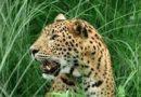डेढ़ वर्ष में जंगली जानवरों के हमले में 40 लोग घायल, 6 ने गवाई जान