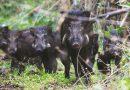 चोपड़ी गांव में जंगली जानवरों का आतंक